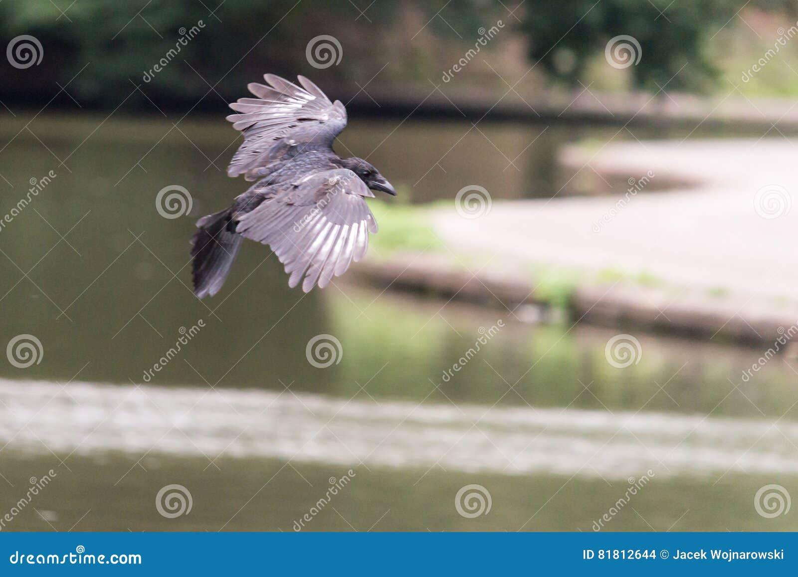 Ворона летания на запачканной предпосылке b