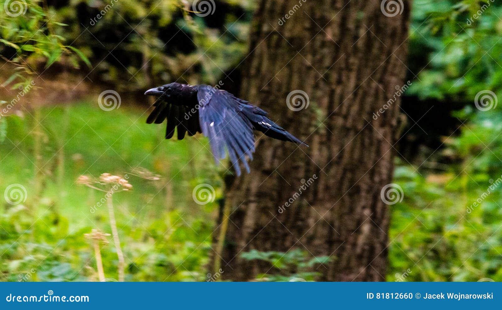 Ворона летания на запачканной предпосылке d