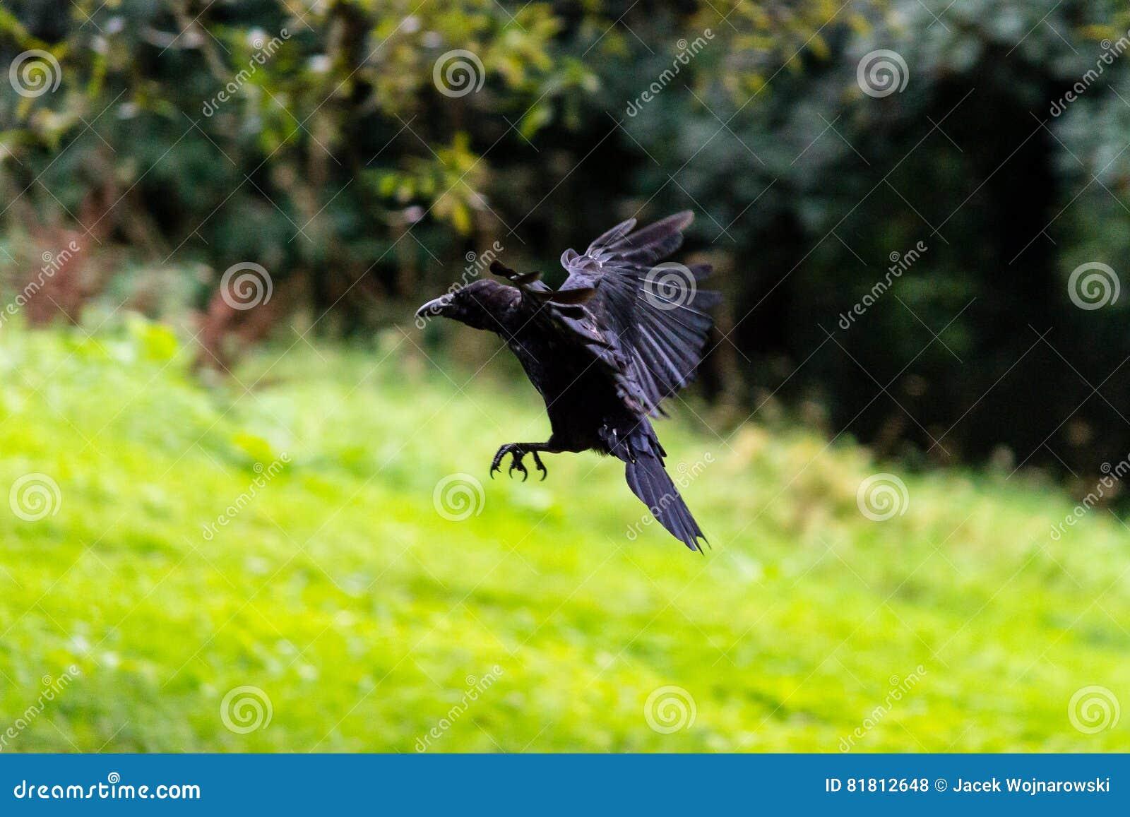 Ворона летания на запачканной предпосылке e