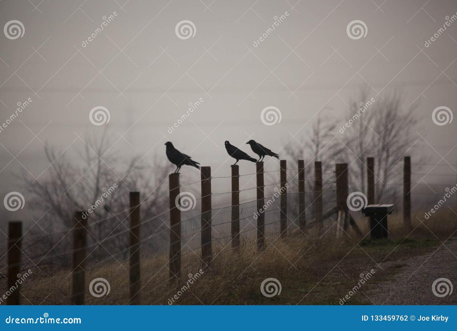 3 вороны в тумане