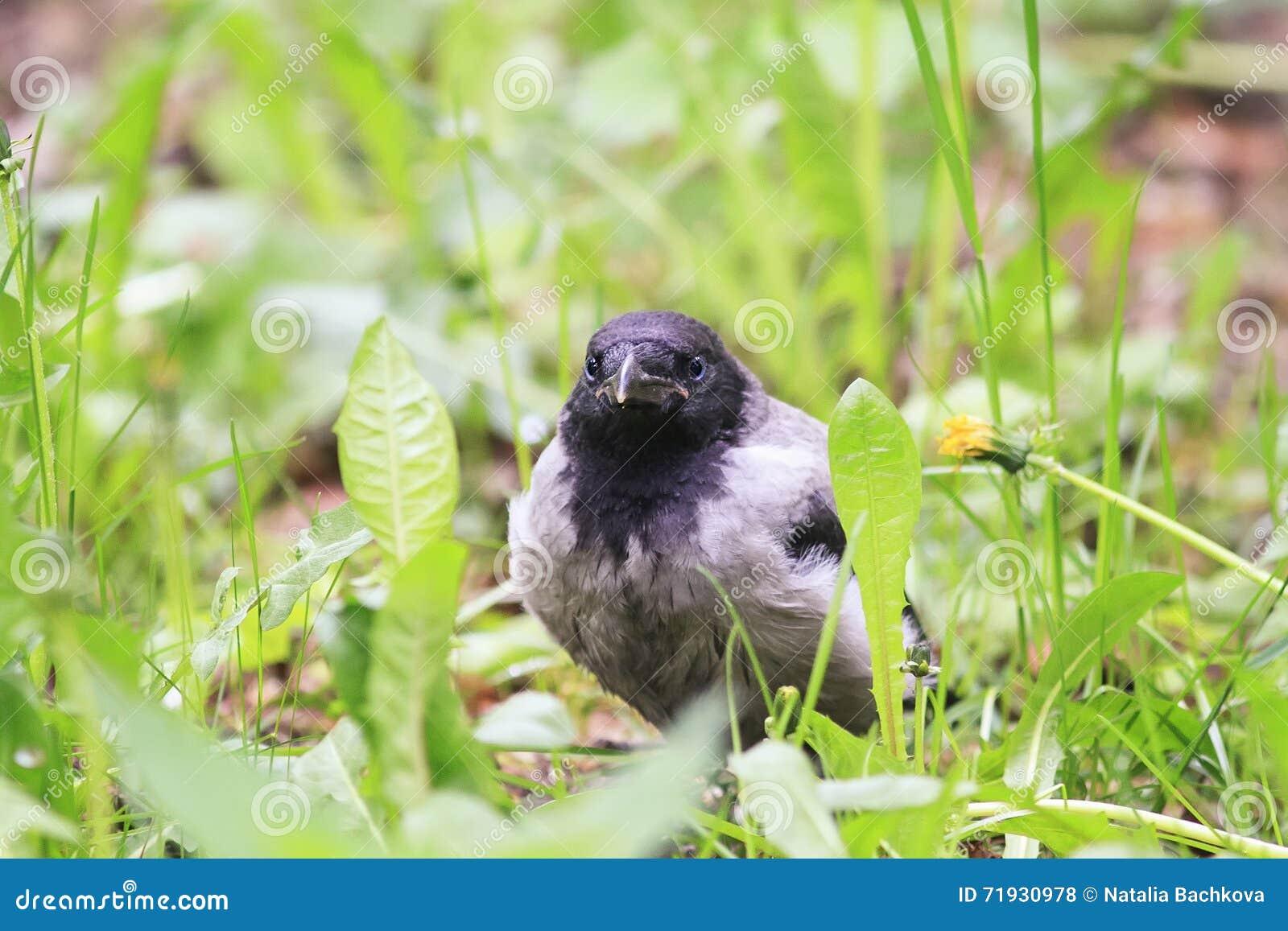 вороны смешного цыпленока серые сидя в зеленой траве