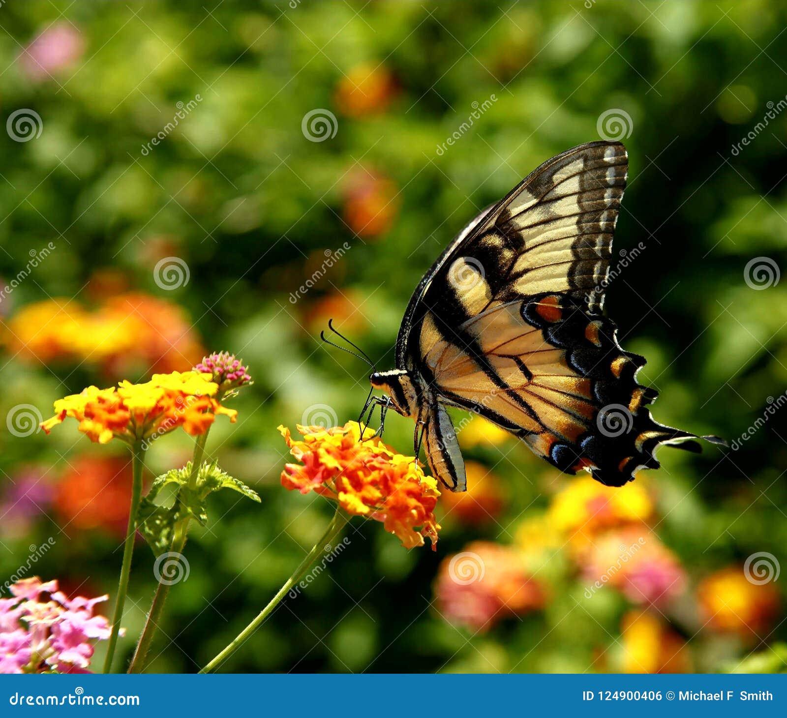 Восточная желтая бабочка swallowtail тигра