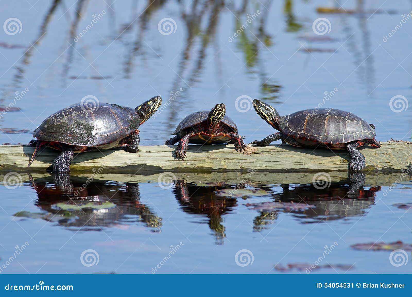 Восточные покрашенные черепахи на журнале