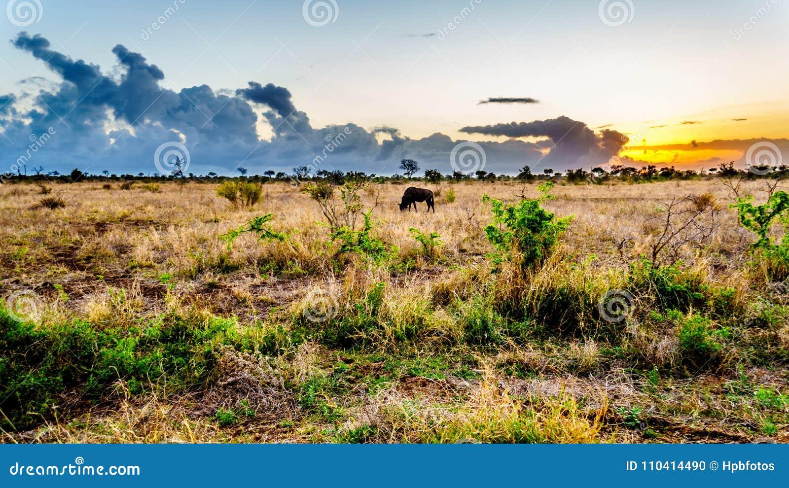 Восход солнца над саванной с пася антилопой гну в центральном национальном парке Kruger