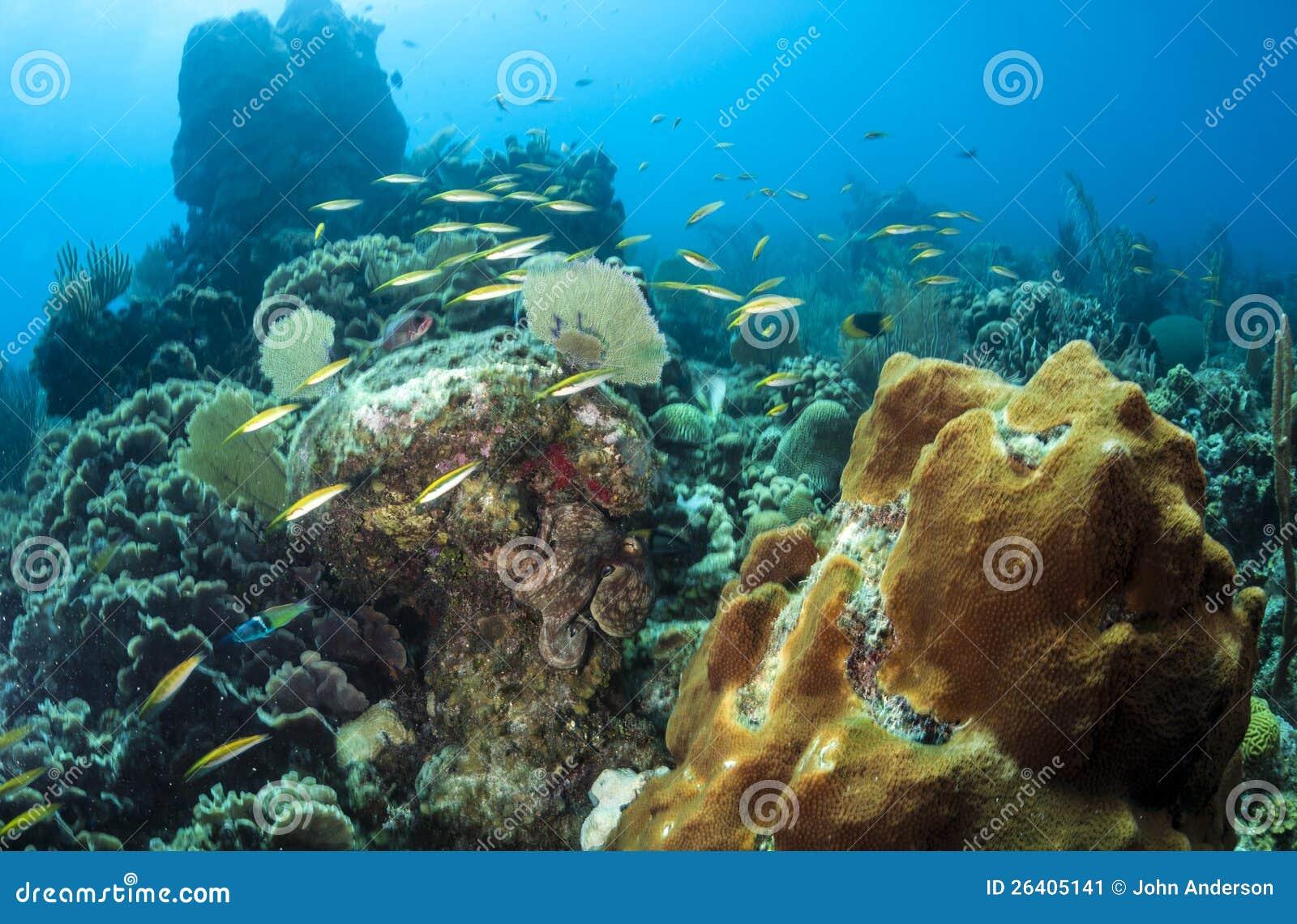 Восьминог кораллового рифа