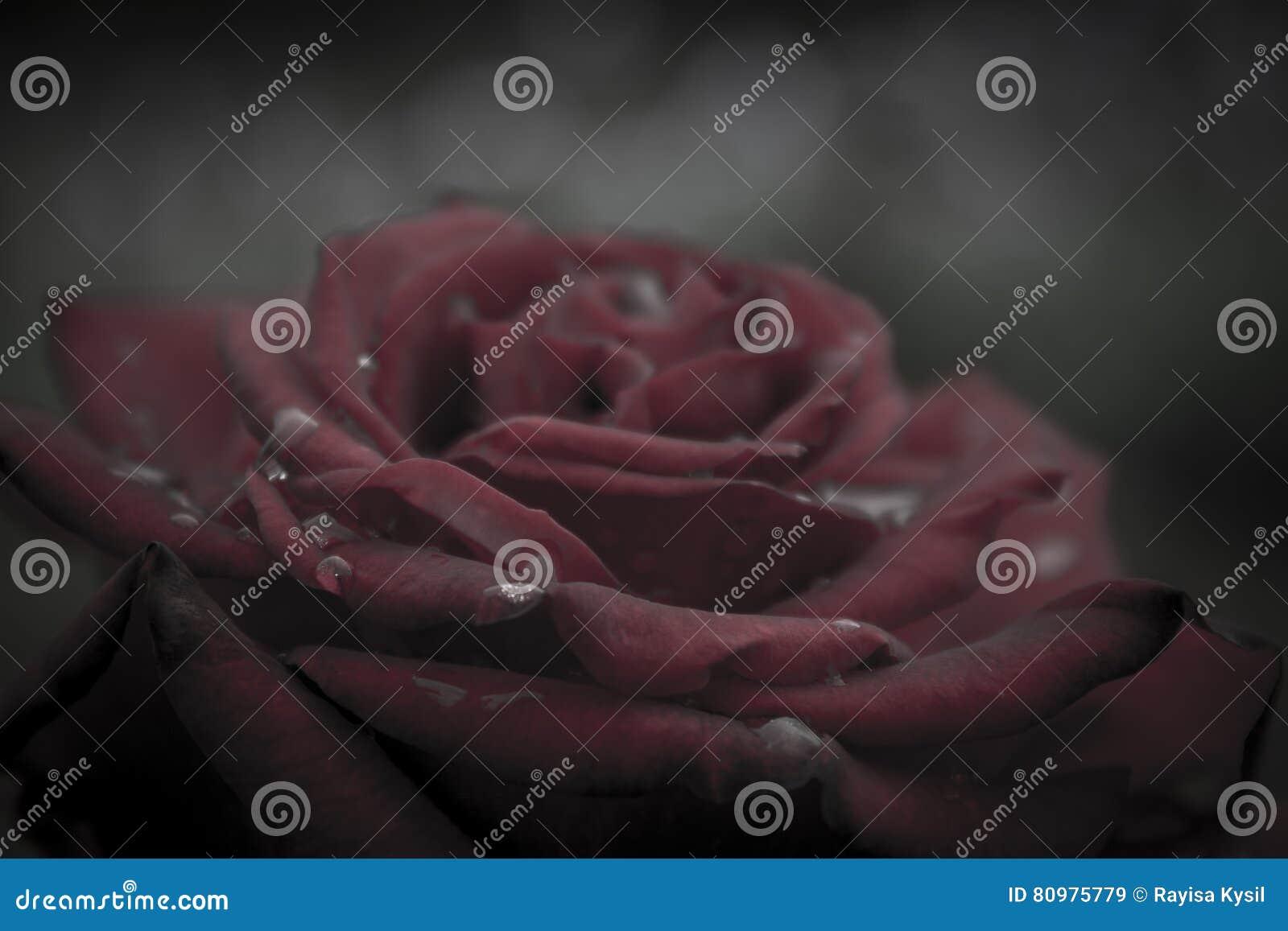 вода близкой розы красного цвета макроса изображения капек dof темноты весьма отмелая поднимающая вверх