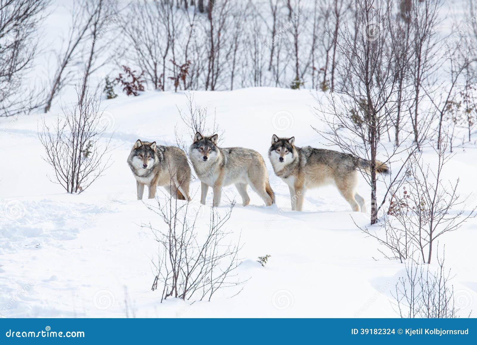 3 волка в снеге