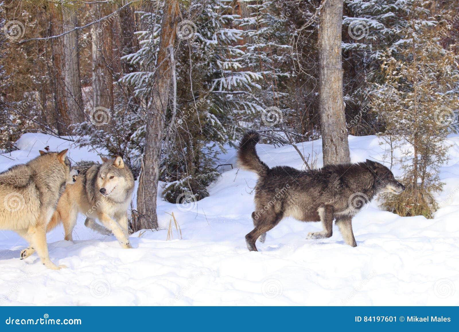 Волки охотясь лось