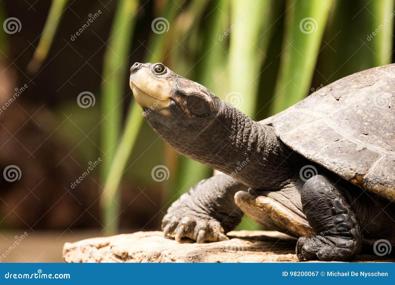 Download Водяная черепаха Serrated водяной черепахой прикрепленная на петлях Стоковое Изображение - изображение насчитывающей глаз, terrapin: 98200067