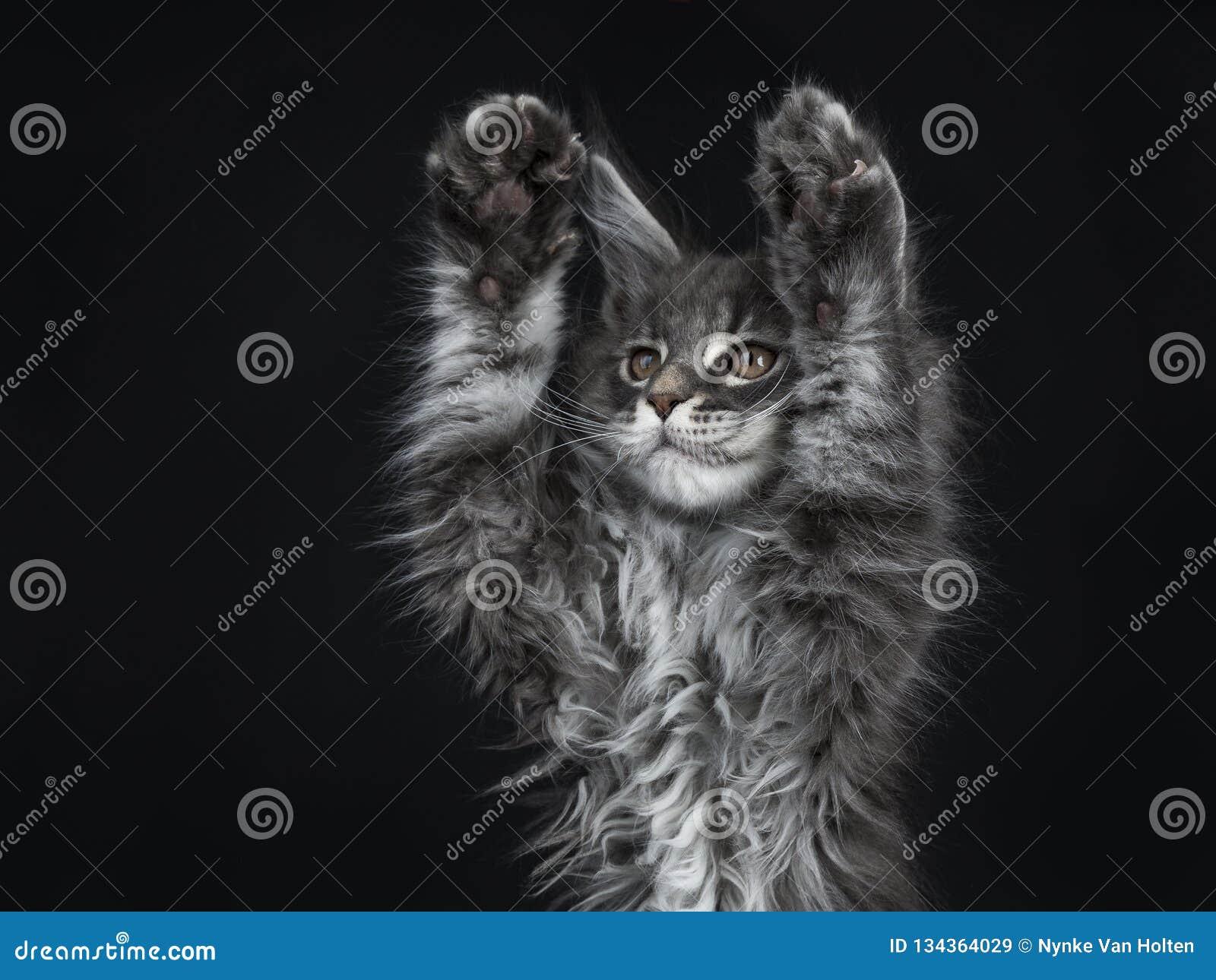 Впечатляющий голубой серебряный котенок кота енота Мейна, изолированный на черной предпосылке
