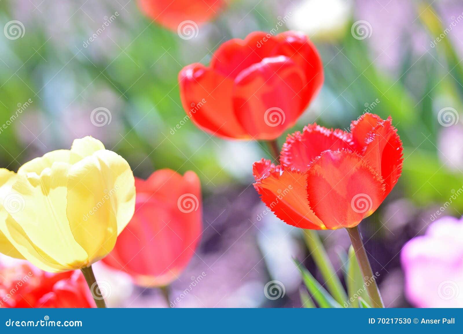 Время весны тюльпанов