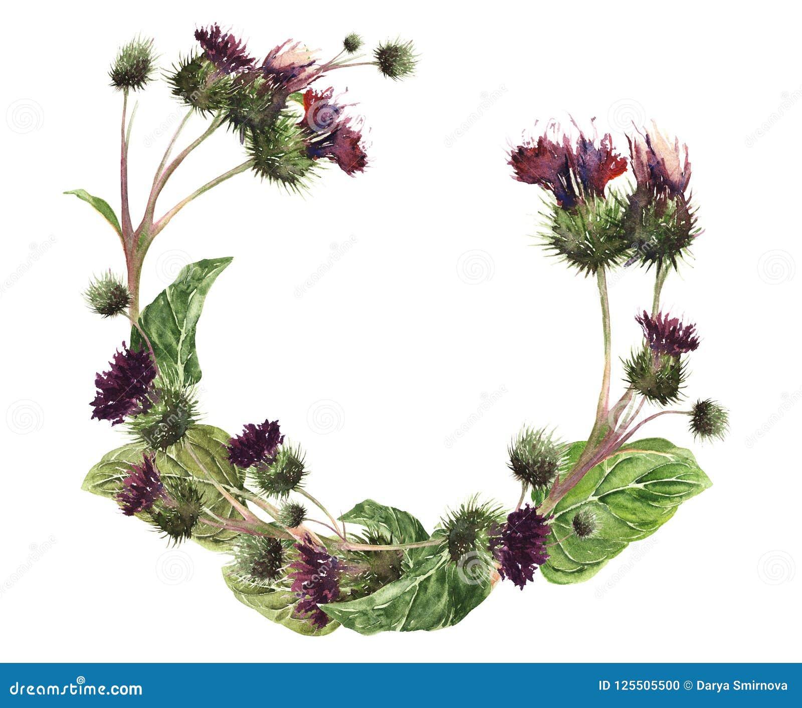 Вручите вычерченной венок изолированный акварелью красочного нежного thistle луга Ботаническая винтажная иллюстрация акварели Диз