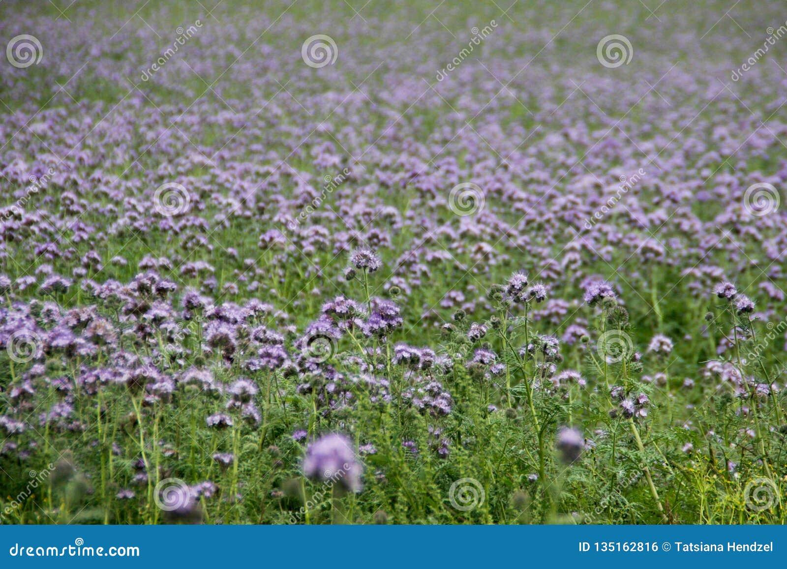 Все поле красивых ярких пурпурных цветков