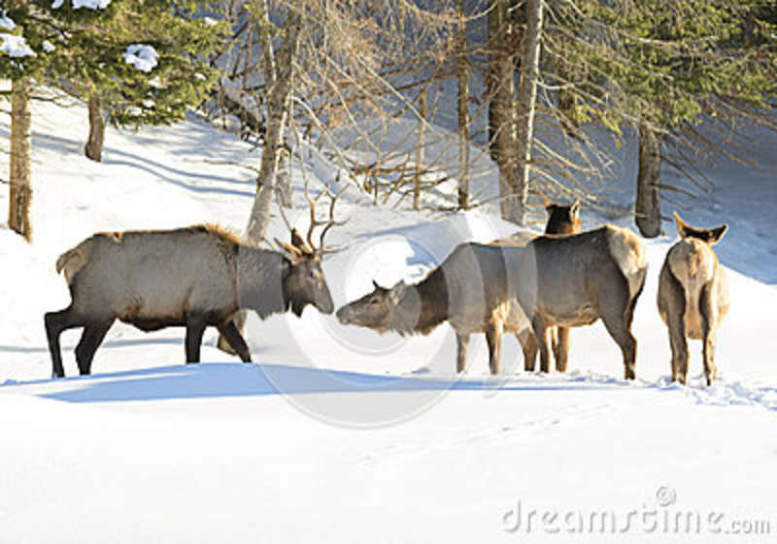 Встреча лося в зиме