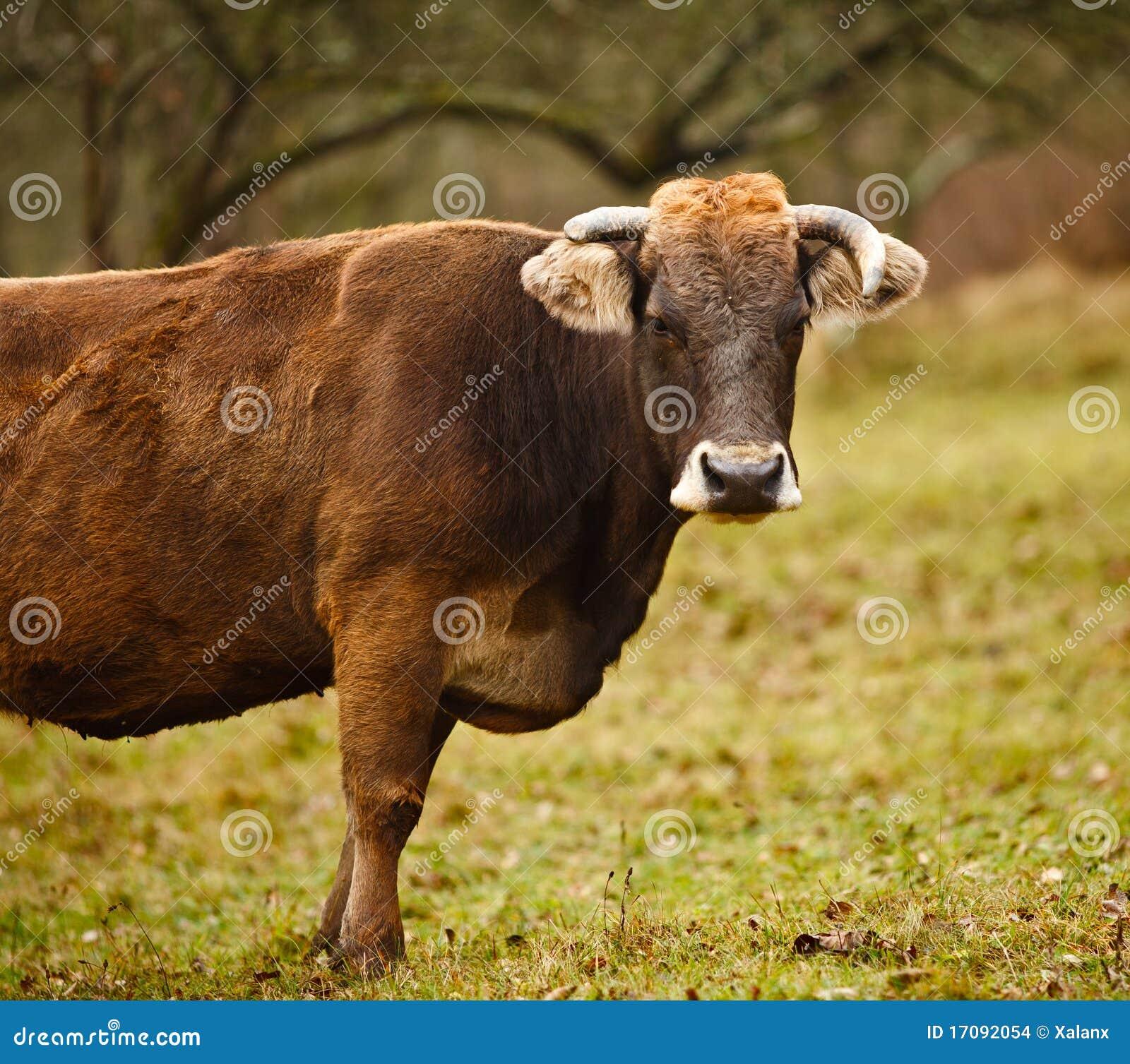 выгон коровы