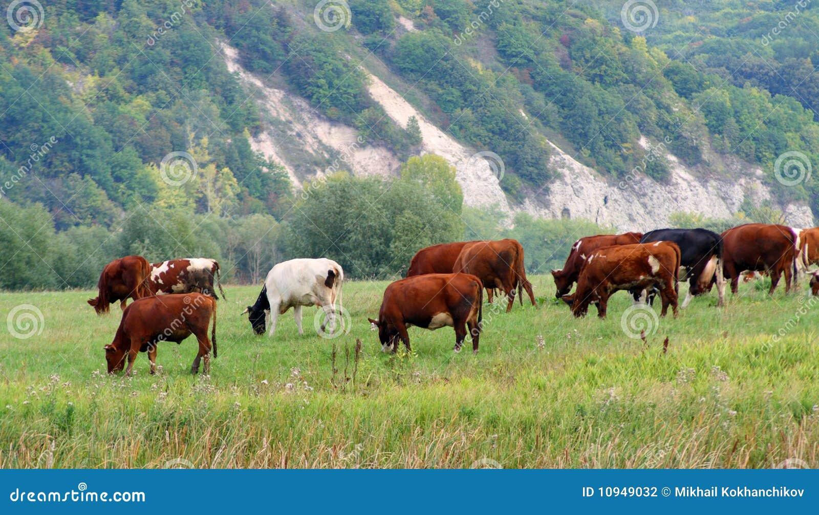 выгон коров