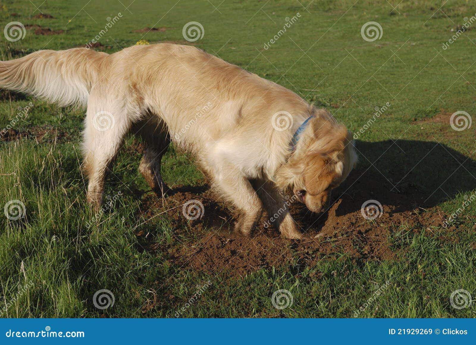 выкапывая retriever отверстия собаки золотистый