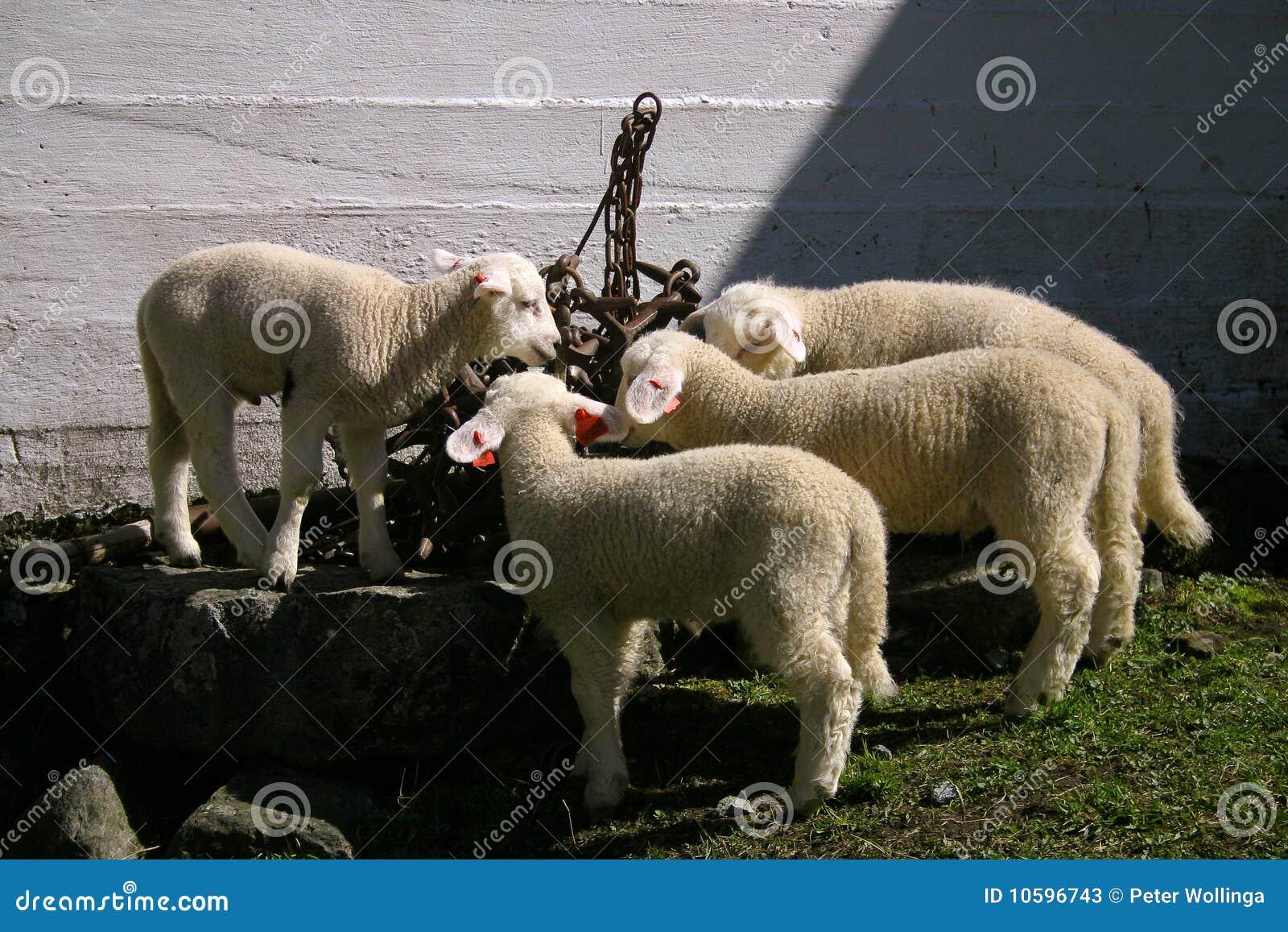 выпивать 4 овечек