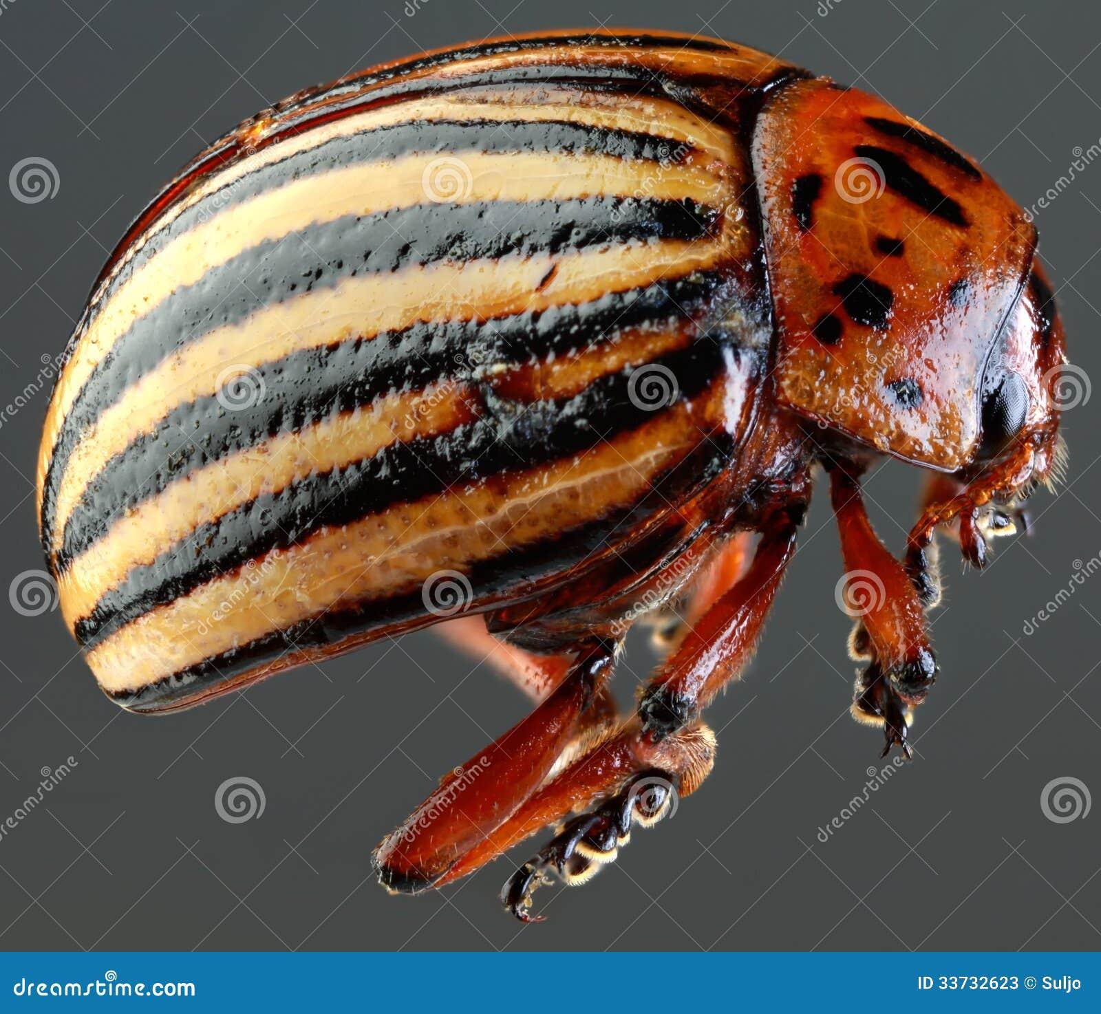 Вырез макроса жука Колорадо