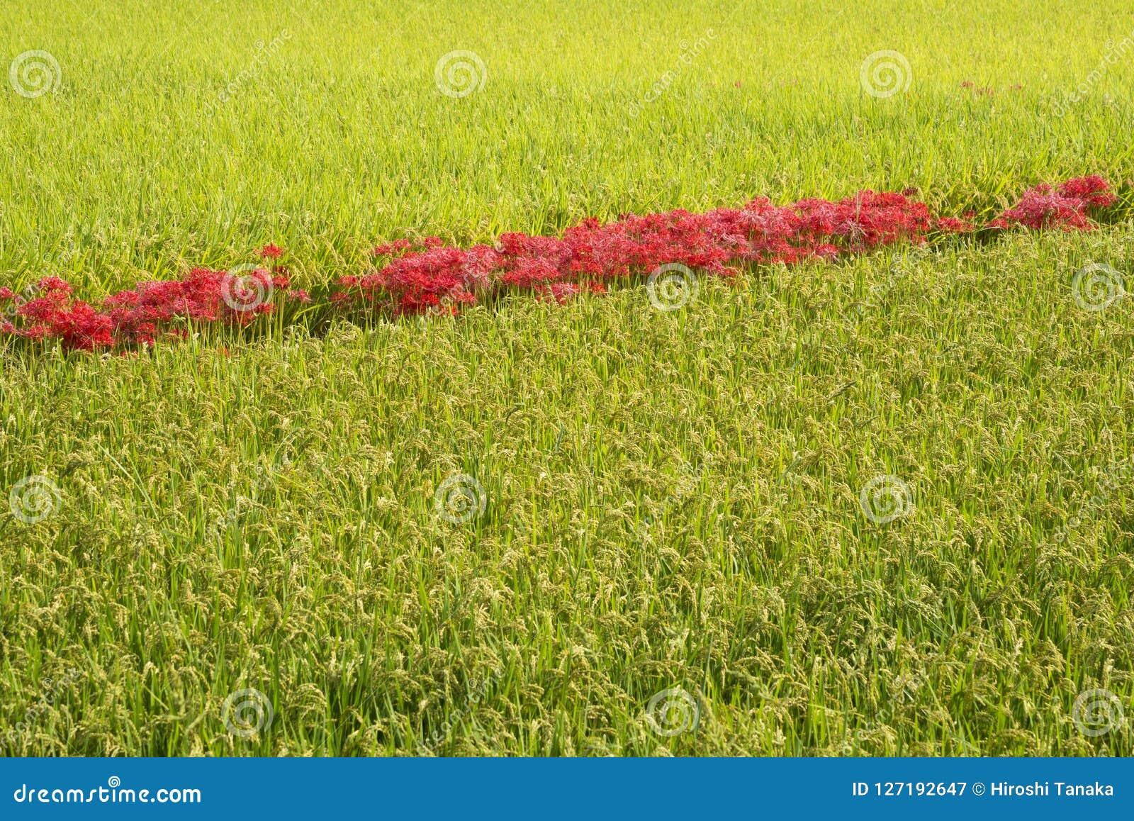 Выровнянные красные цветки в поле риса