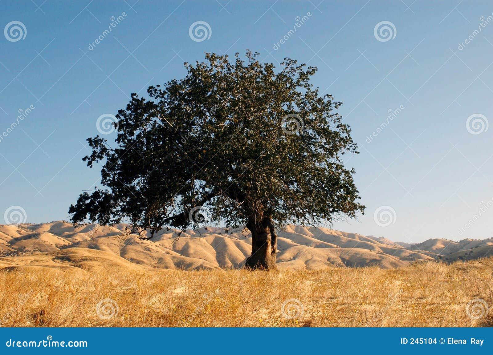 высокий дуб вверх