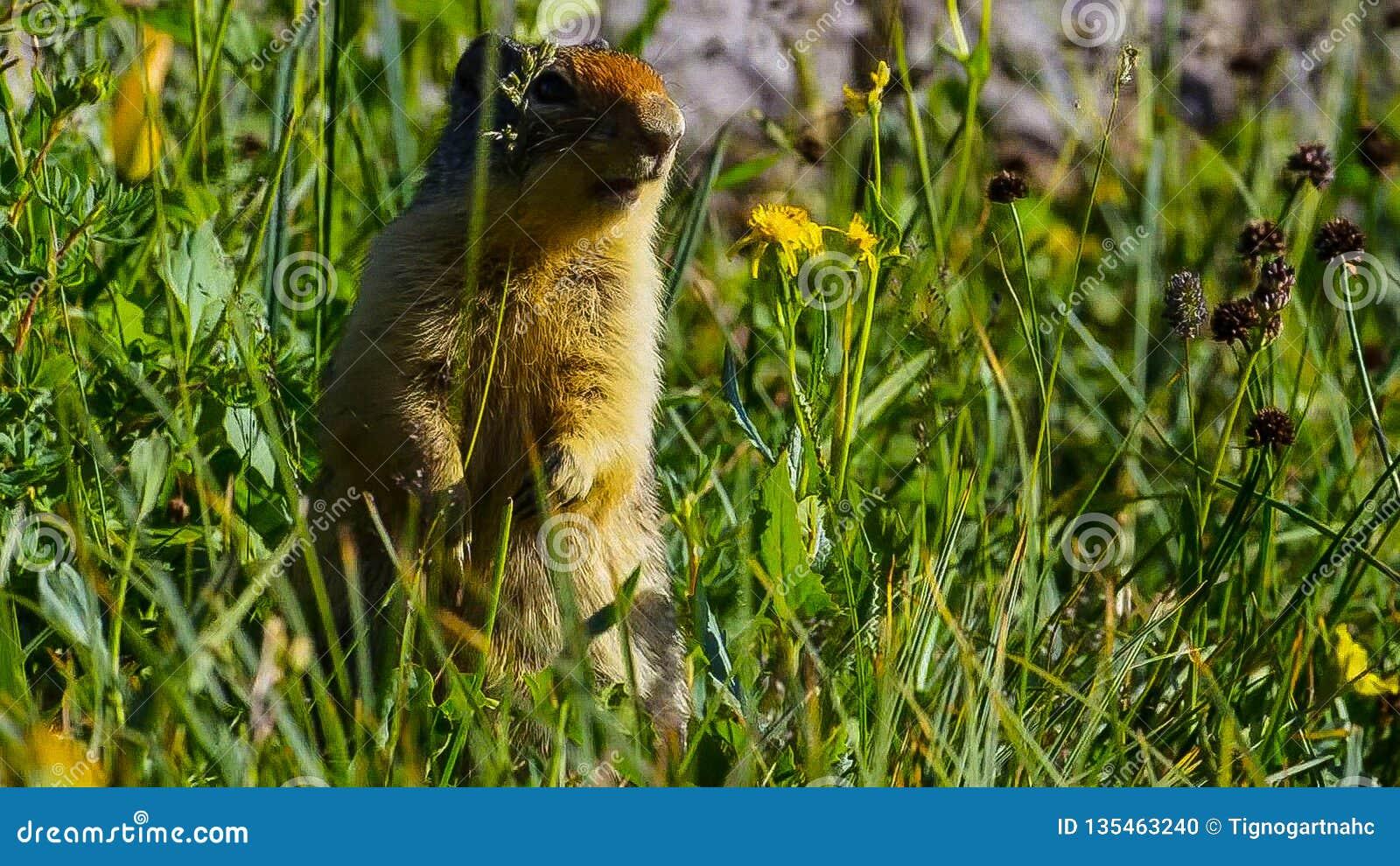 Высокогорный marmota Marmota сурка вид сурка найденный в горных областях централи и Южной Европы
