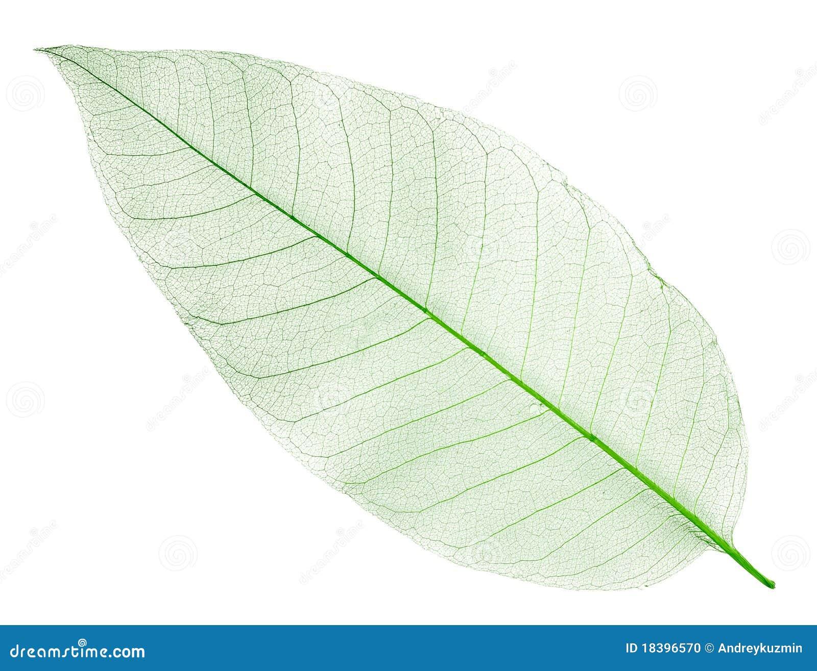 высушенная изолированная зеленым цветом белизна листьев