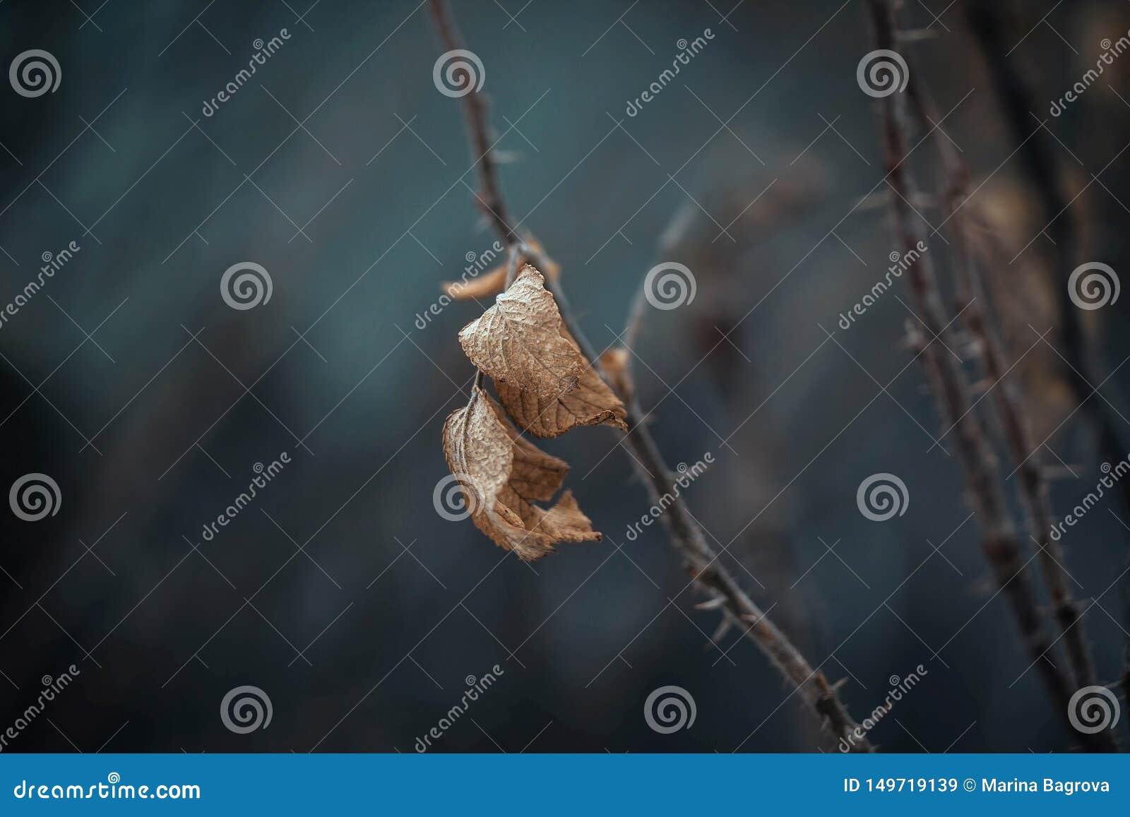 Высушенные лист плода шиповника, шип, briar, eglantine, роза собаки, плод шиповника, дикая роза на темно-синей предпосылке Сухие