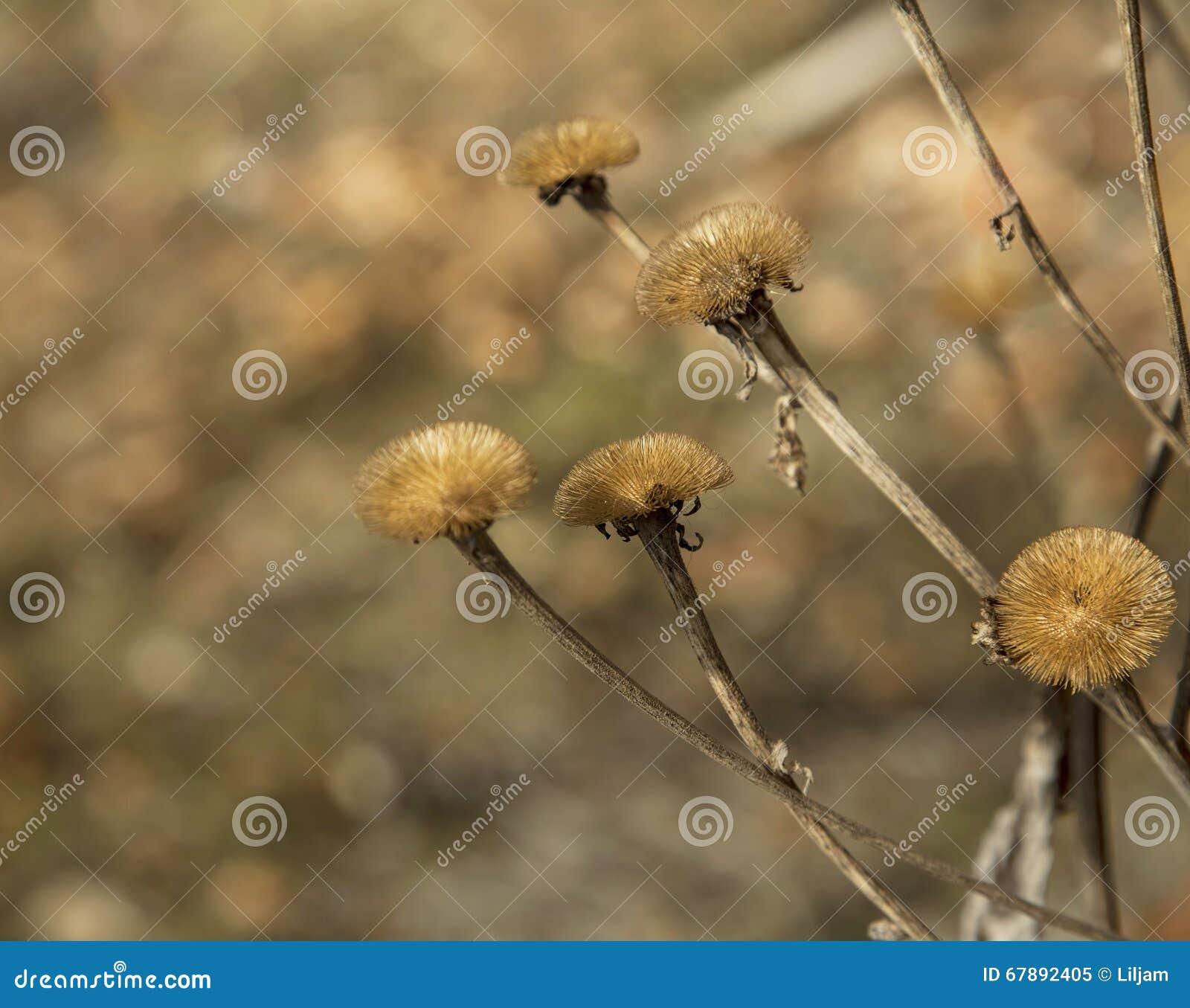 Высушенные цветки луга