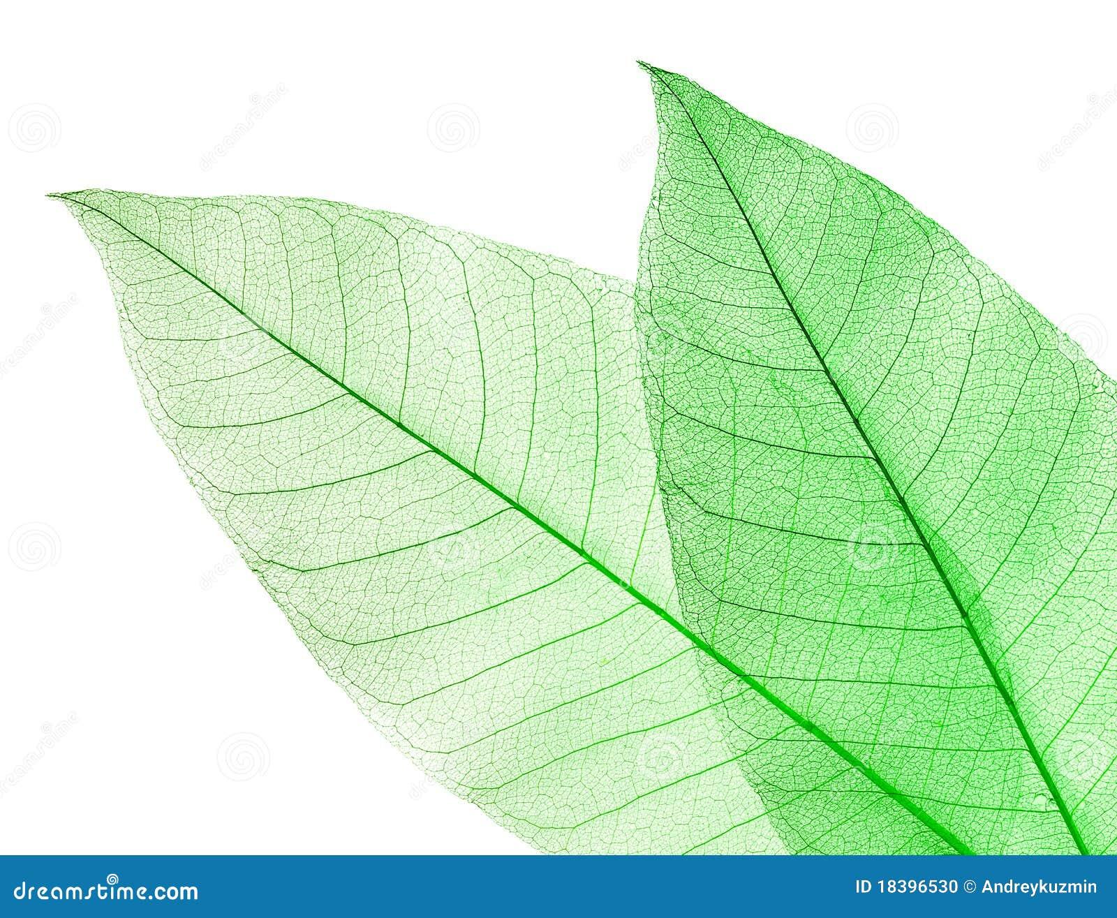 высушенный зеленый цвет изолировал белизну листьев 2