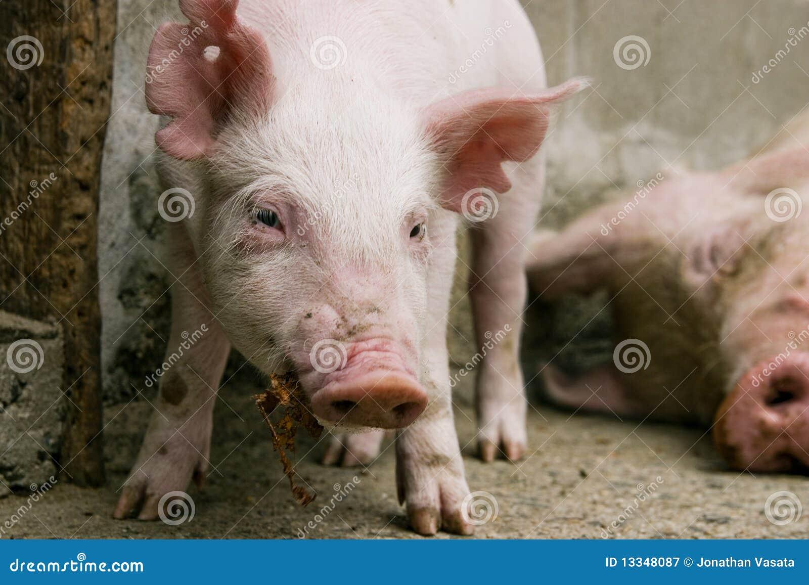 вытаращиться свиньи