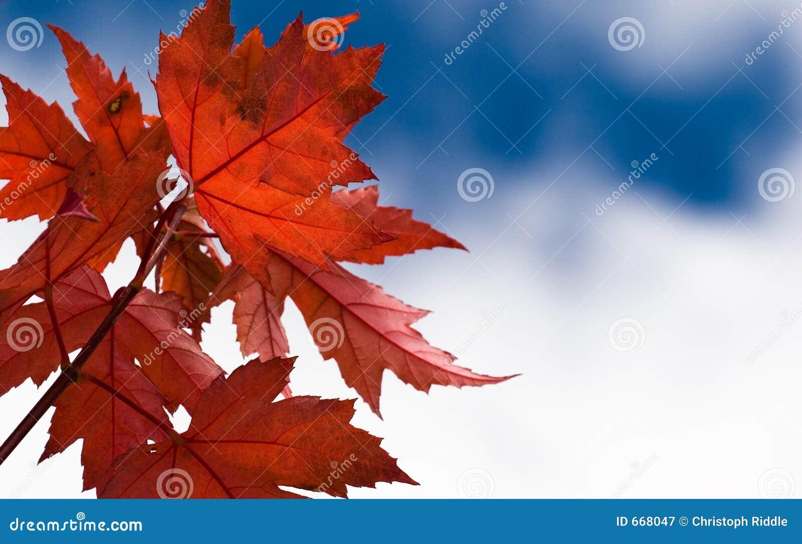 выходит красный цвет клена