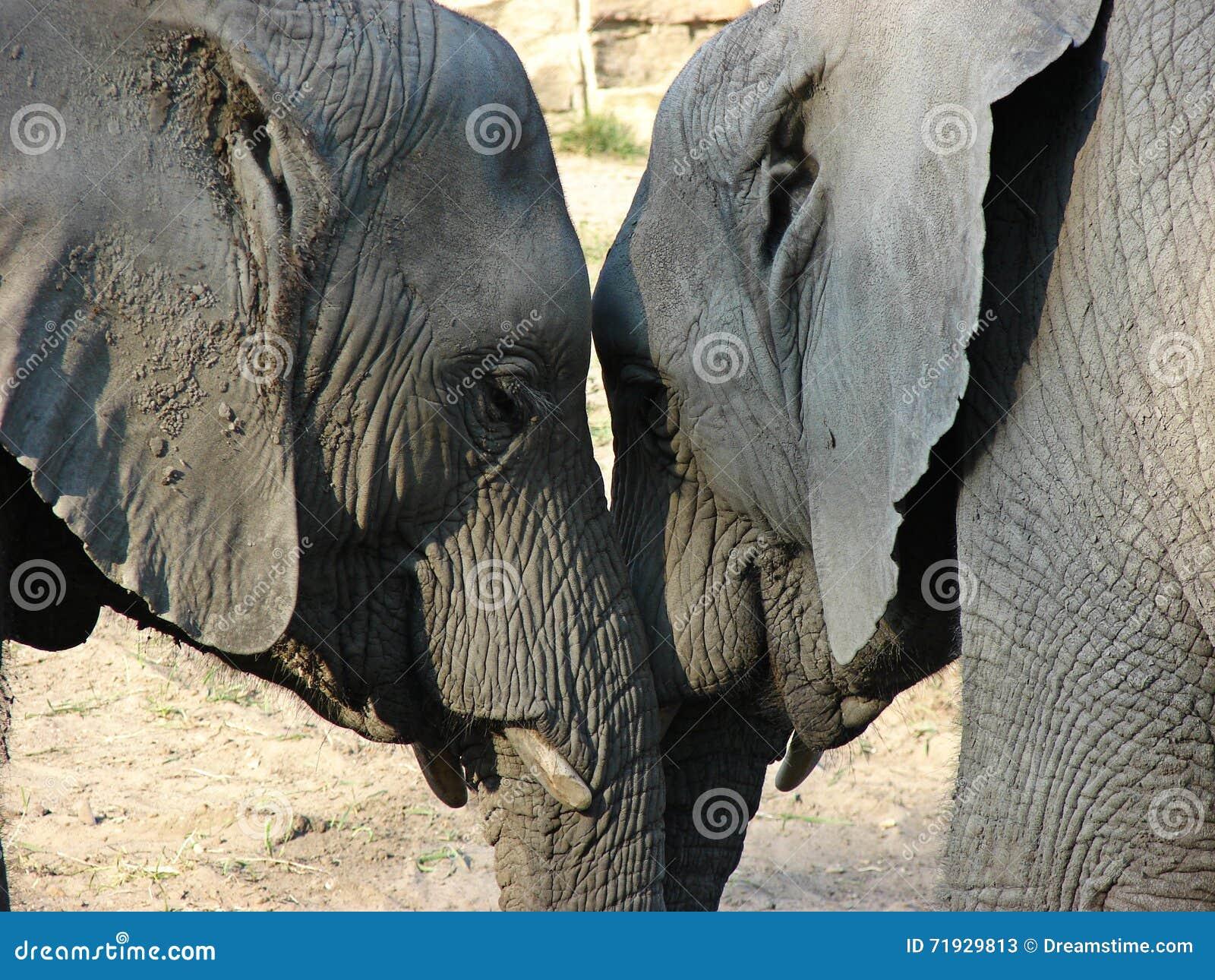 Влюбленность слонов