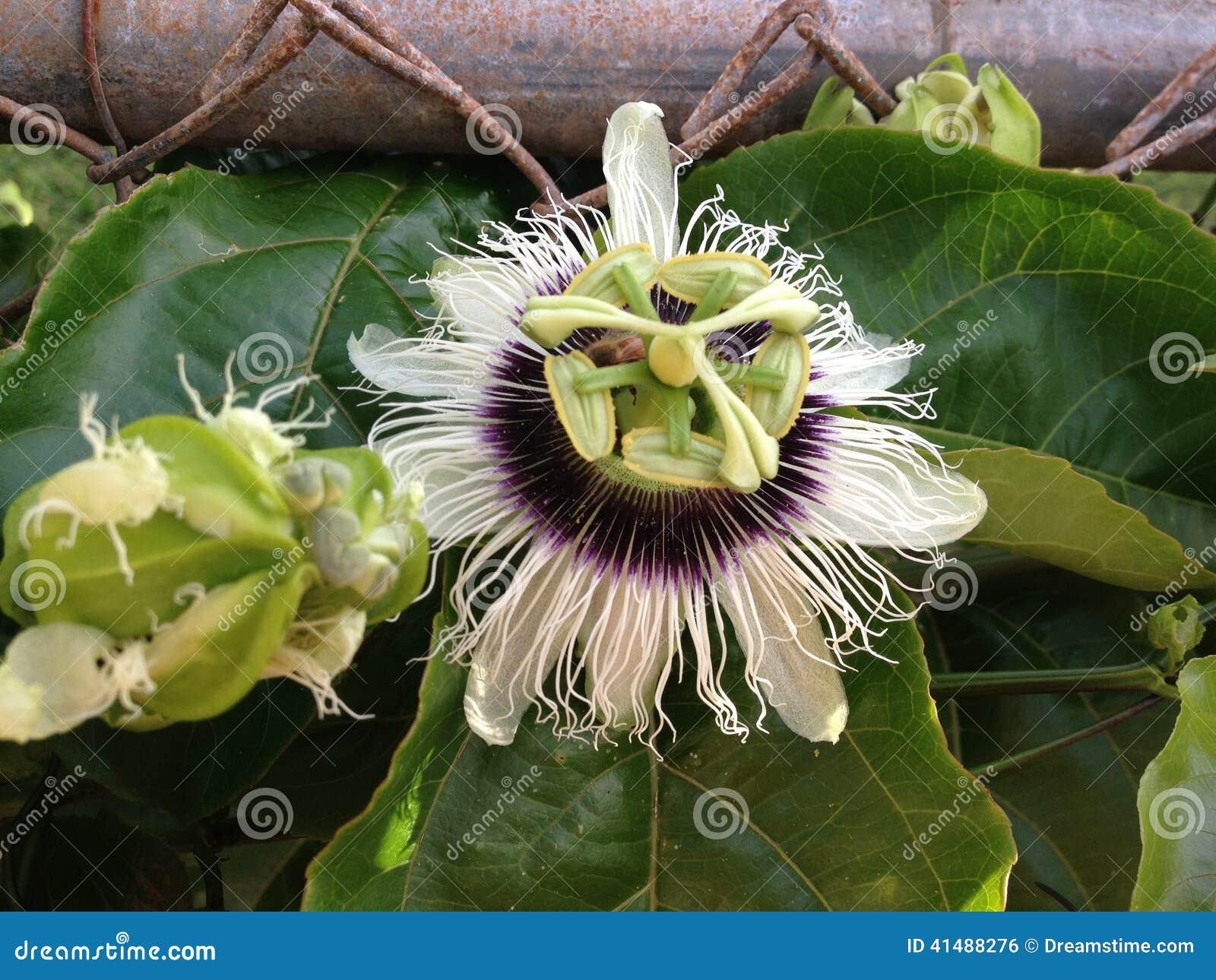 Гаваиский цветок Lilikoi