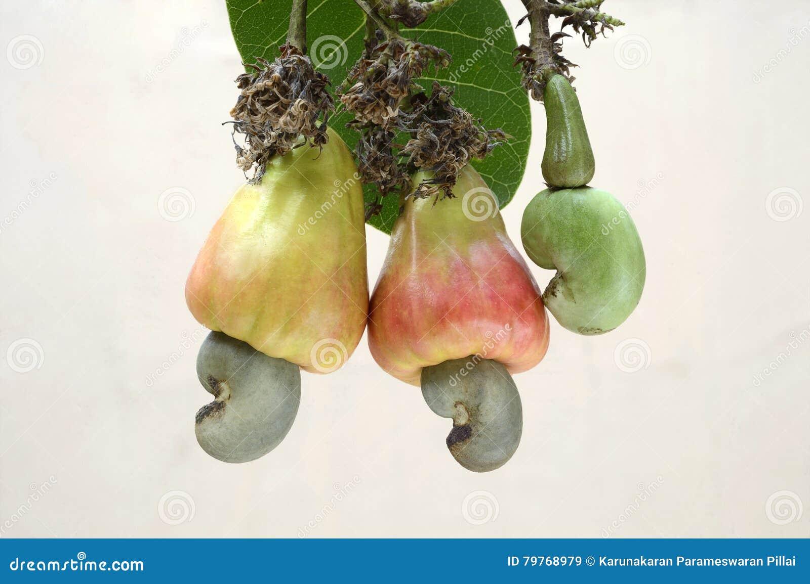 Гайки анакардии 2 созрели яблоки с гайками и одной нежной гайкой