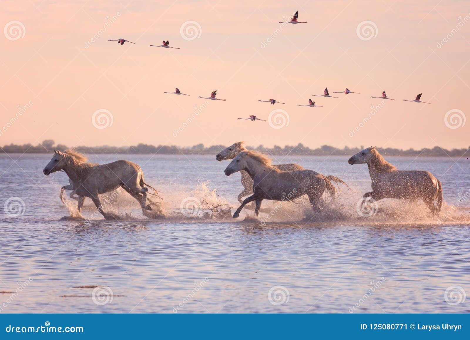 Галоп бега белых лошадей в воде на фоне фламинго на заходе солнца, Camargue летания, Франции
