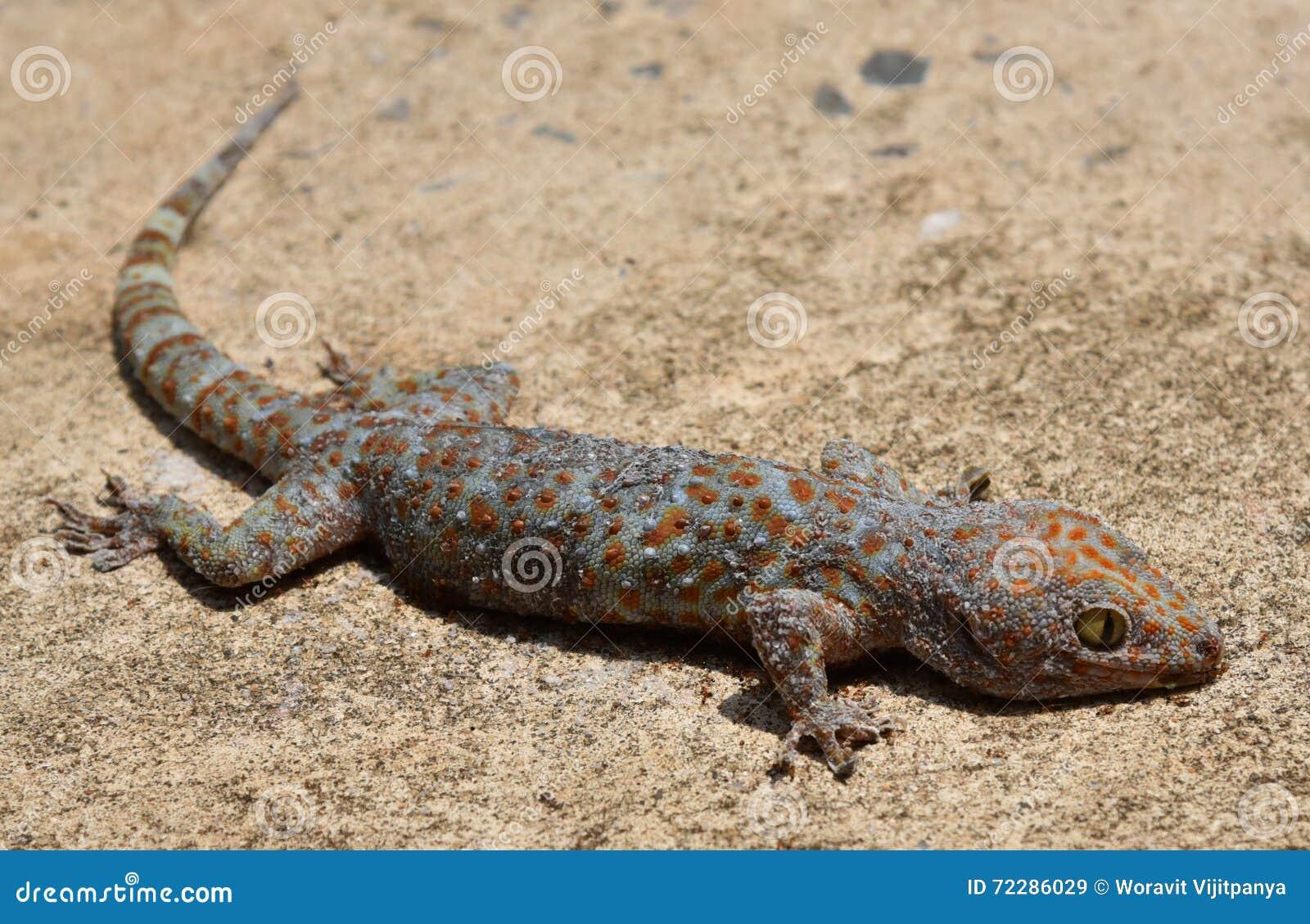 Download Гекконовые - гекконовые мертвые Стоковое Изображение - изображение насчитывающей серо, crawl: 72286029