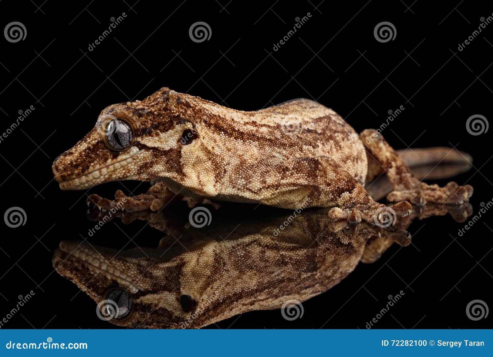 Download Гекконовые горгульи крупного плана, Auriculatus Rhacodactylus вытаращить на черной предпосылке Стоковое Фото - изображение насчитывающей environment, экзотическо: 72282100