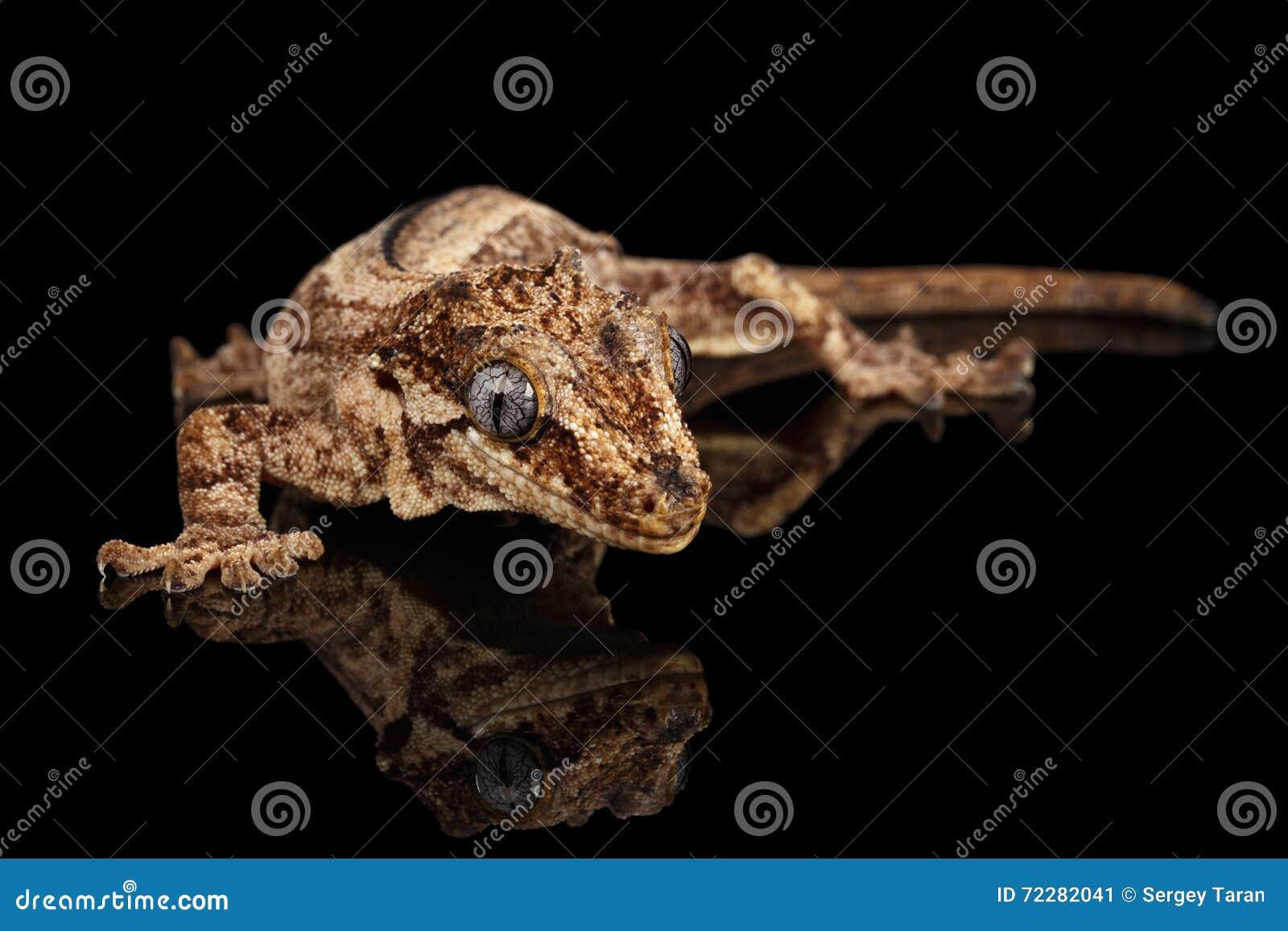 Download Гекконовые горгульи, Auriculatus Rhacodactylus вытаращить на черной предпосылке Стоковое Изображение - изображение насчитывающей gecko, сторона: 72282041