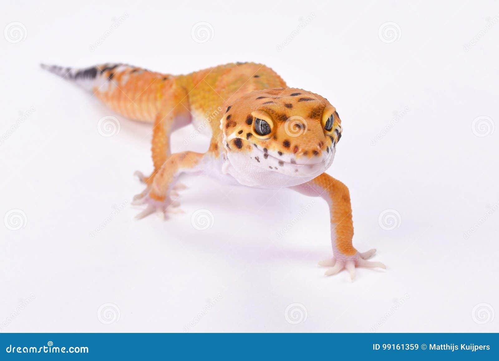 Гекконовые леопарда, macularius Eublepharis
