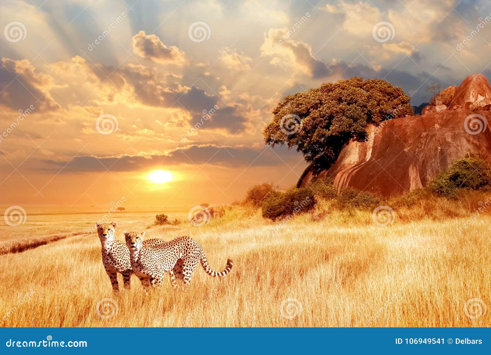 Гепарды в африканской саванне против фона красивого захода солнца Национальный парк Serengeti Танзания вышесказанного