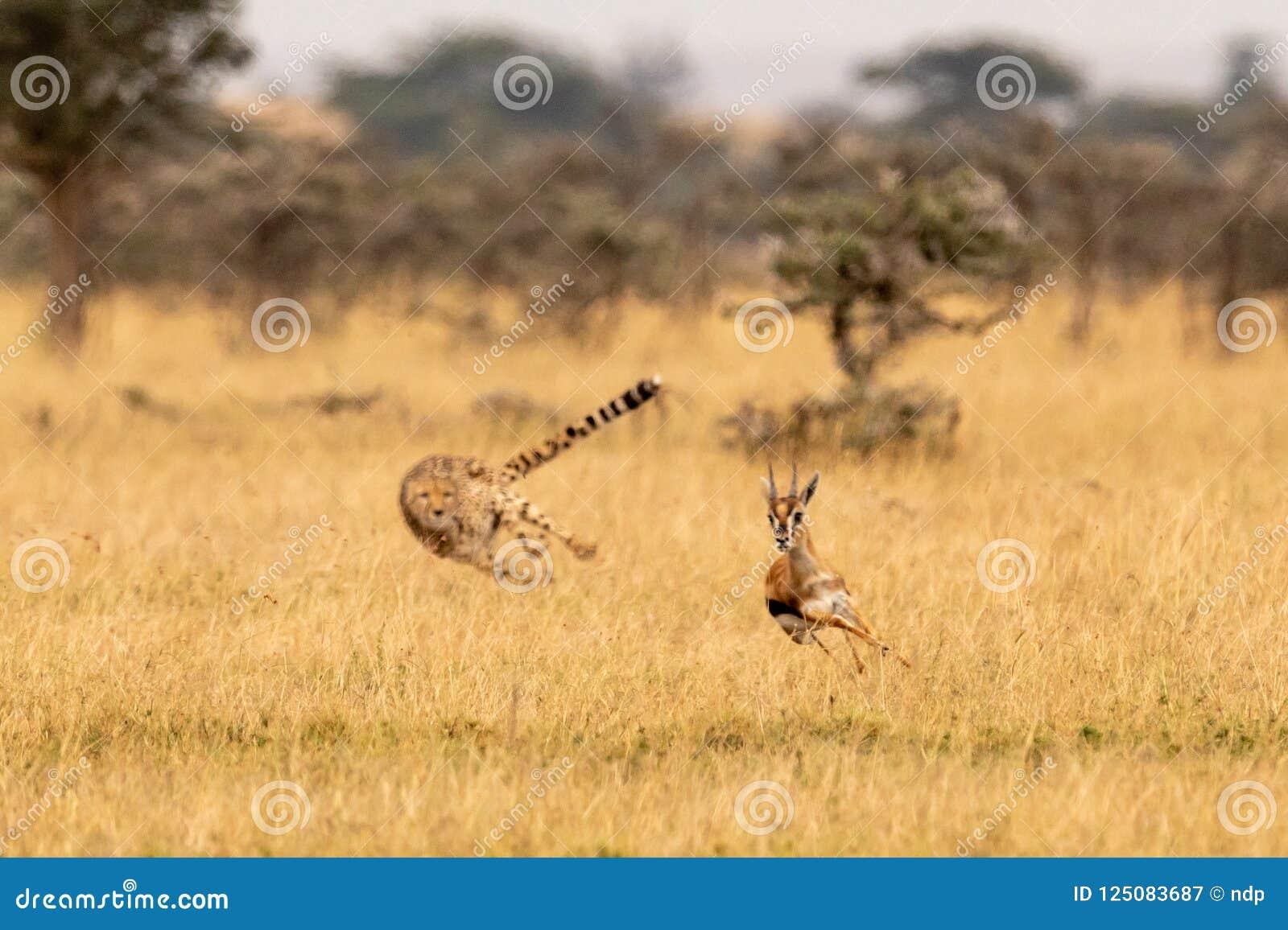 Гепард гоня газеля Томсона среди свистя терниев