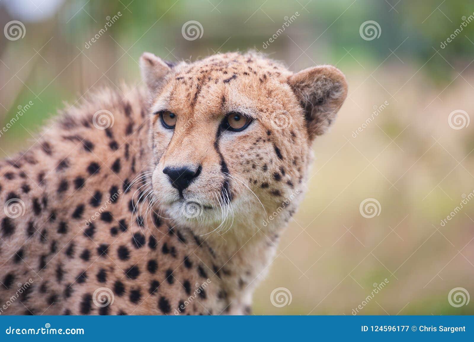 Гепард сидя в высокорослой траве