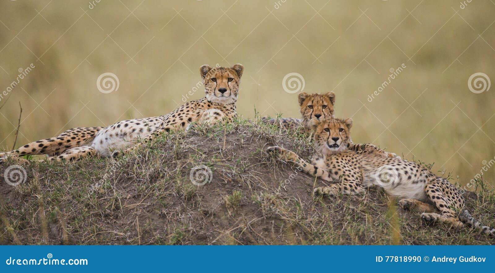 3 гепарда в саванне Кения Танзания вышесказанного Национальный парк serengeti Maasai Mara