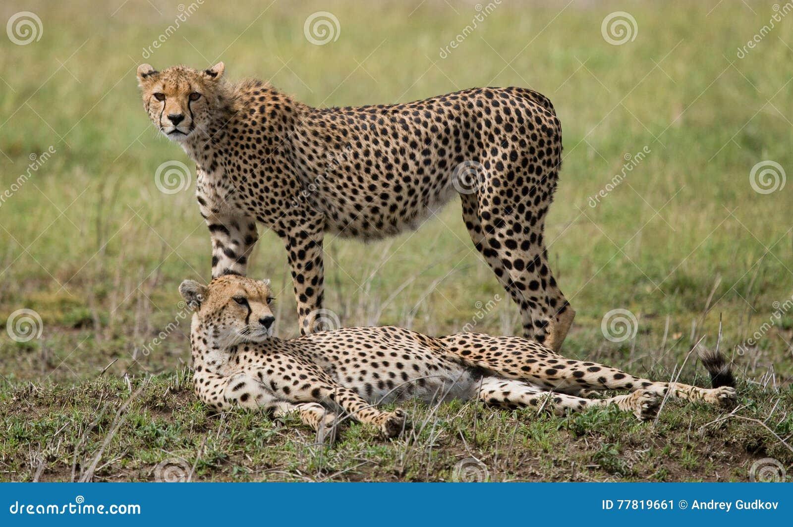2 гепарда в саванне Кения Танзания вышесказанного Национальный парк serengeti Maasai Mara