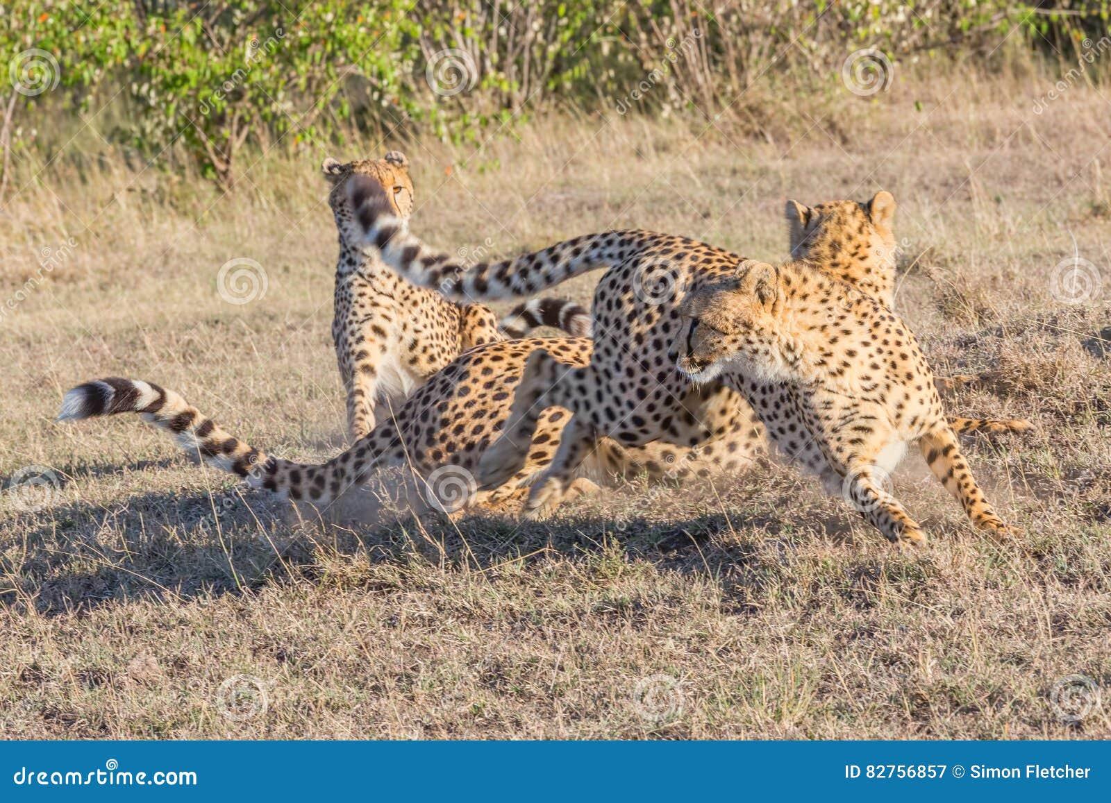 3 гепарда, оголтелое движение, Masai Mara, Кения