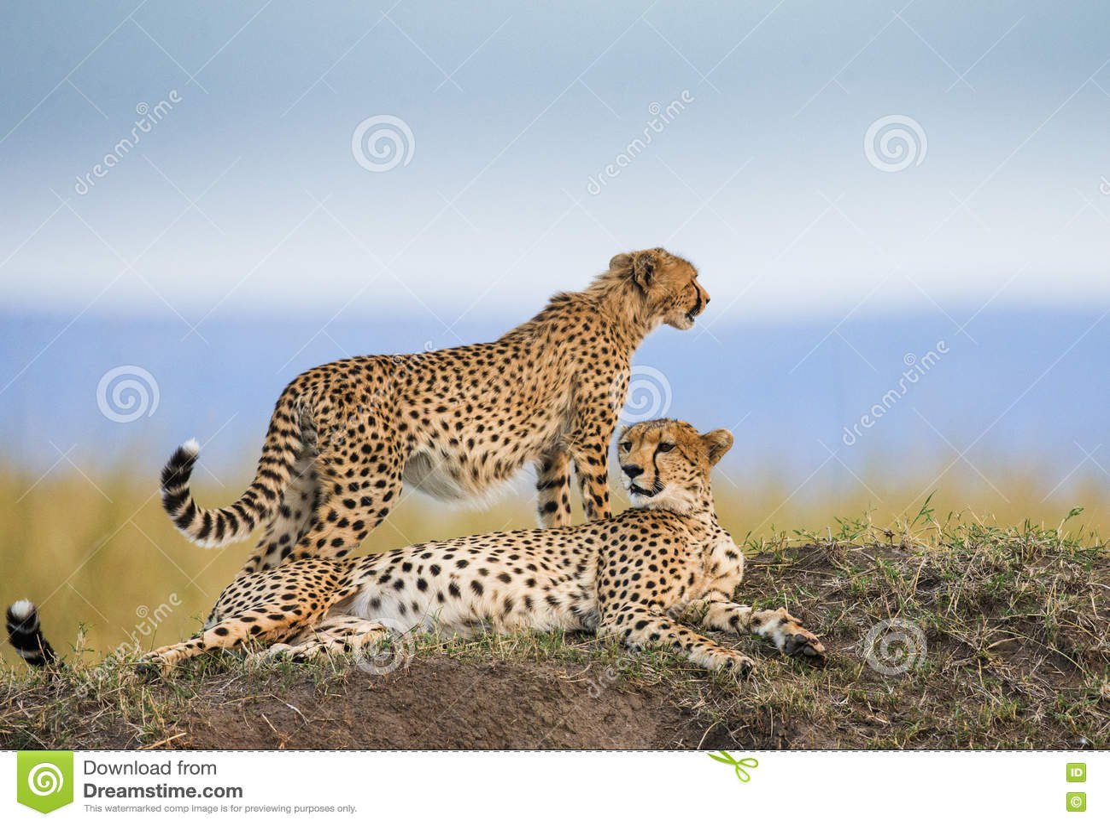 Гепард 2 в саванне Кения Танзания вышесказанного Национальный парк serengeti Maasai Mara