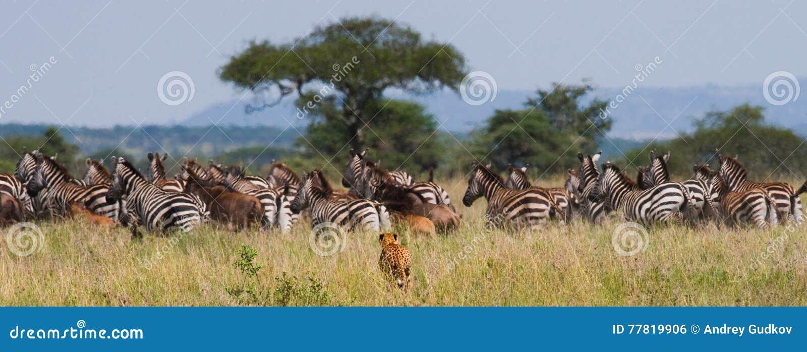 Гепард охотится для табуна зебр и антилопы гну Кении Танзания вышесказанного Национальный парк serengeti Maasai Mara
