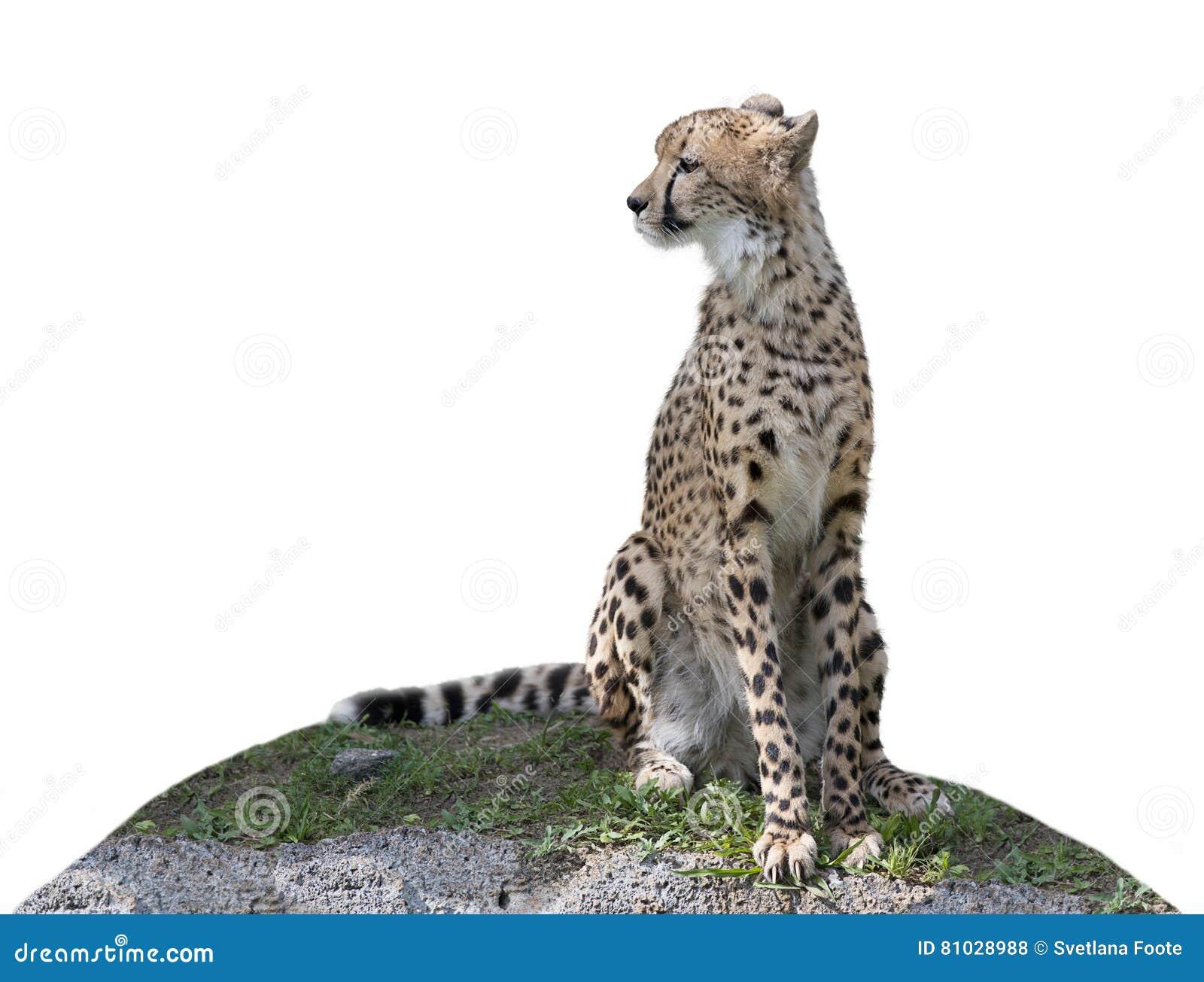 Гепард сидя на холме