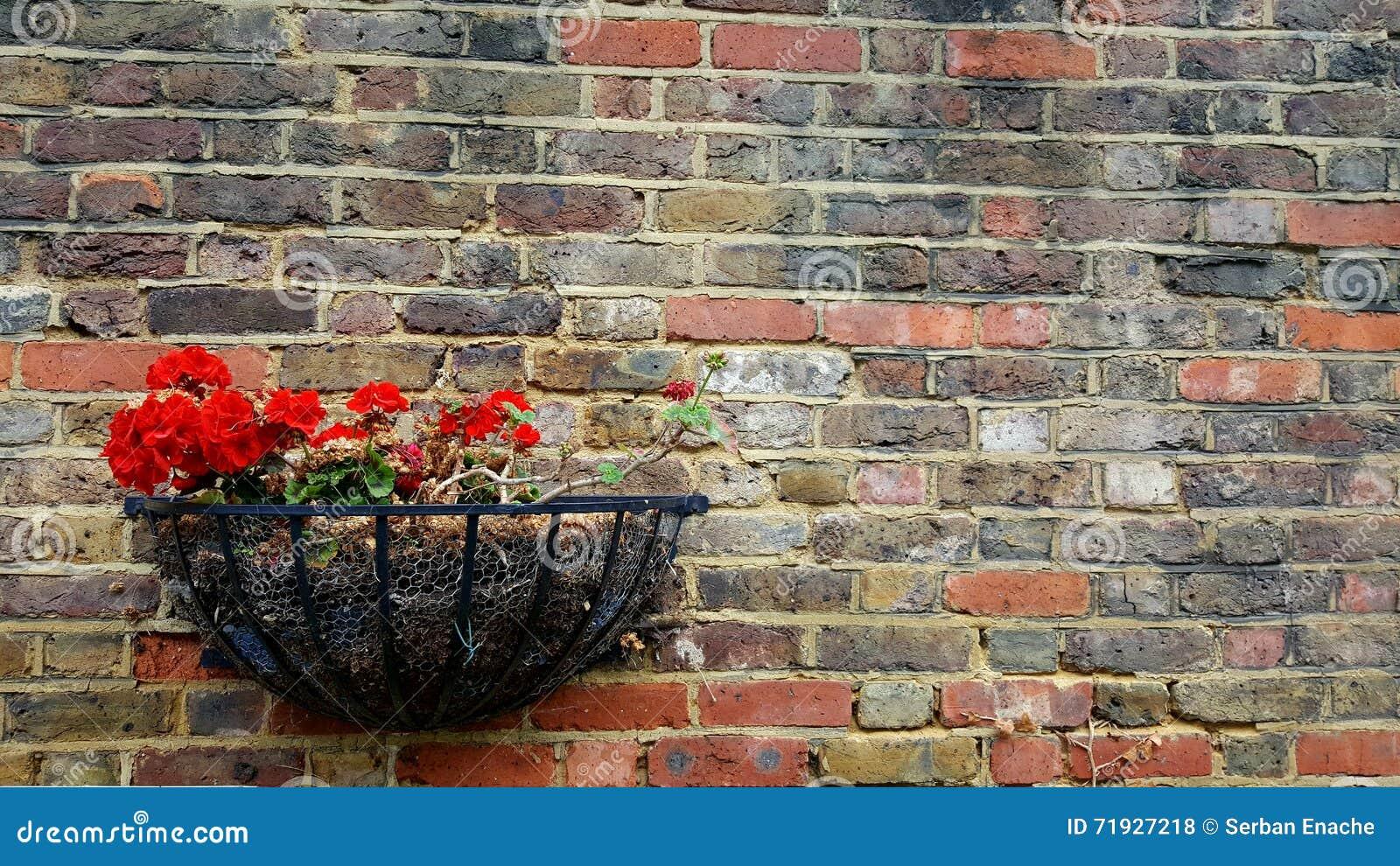 Гераниум украшая стену